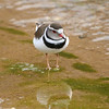 Beautiful Three-banded Plover