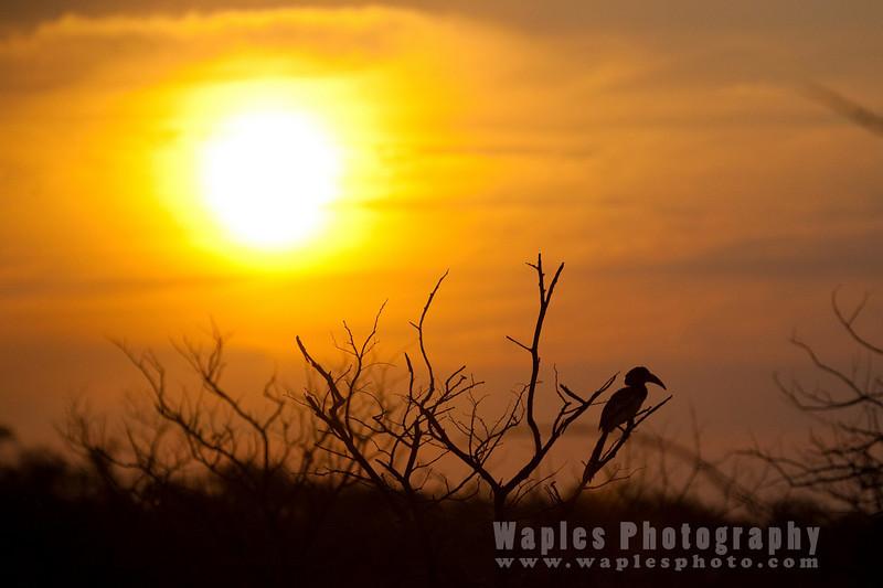 Hornbill at Sunset