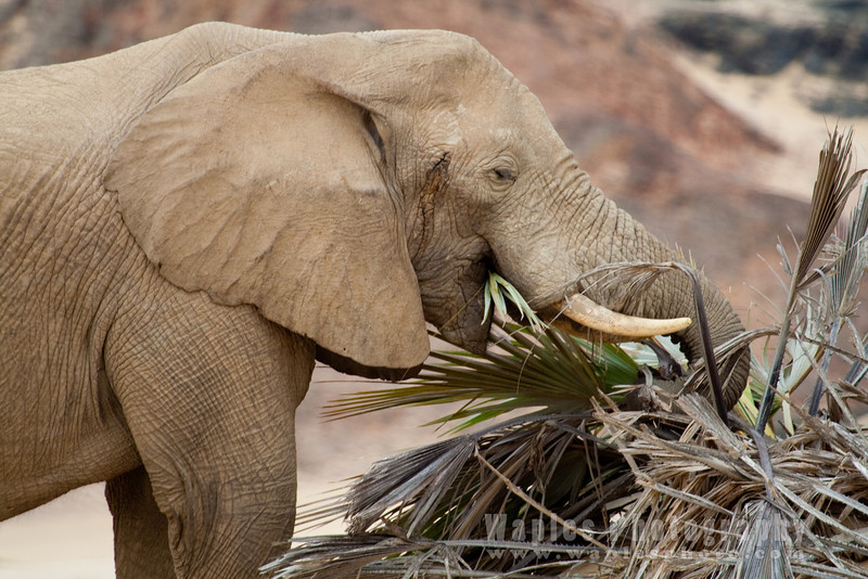 Desert Elephant muching on a palm tree