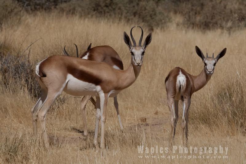Female Springbok