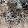 Leopard at Okonjima Lodge