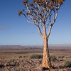 Fish River Canyon - Quivertree