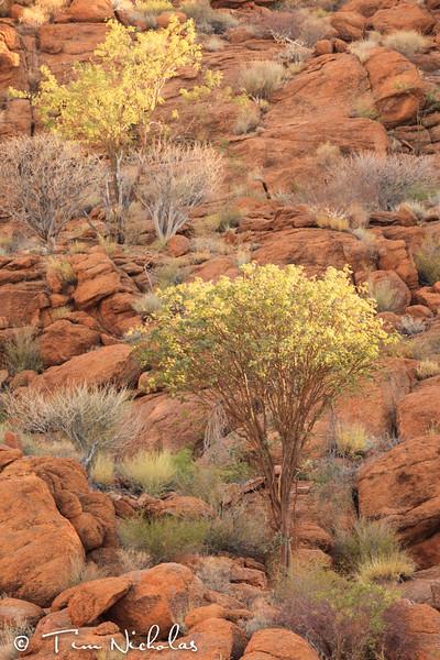 Mowani trees
