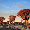 Quivertree Forest sunrise