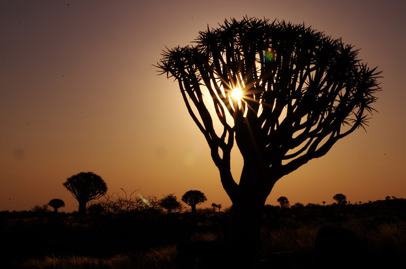 Quivertree Forest at sunset