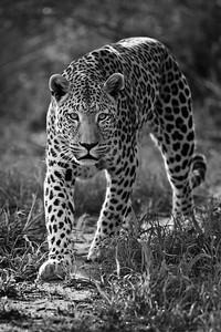 Wahoo, captive leopard, Okonjima