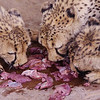 The feeding of the cheetahs.