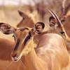 Steenboks
