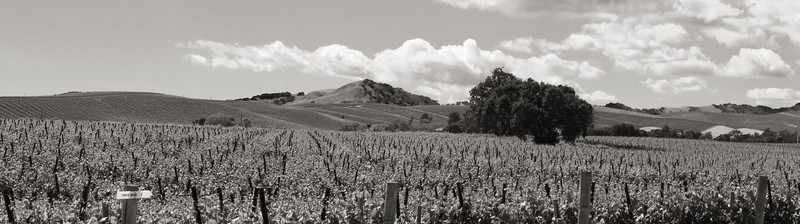 Carneros vines summer