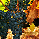Napa Valley Fall Grapes Wine vineyard