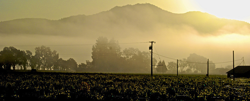 Foggy Yountville Dawn with Atlas Peak