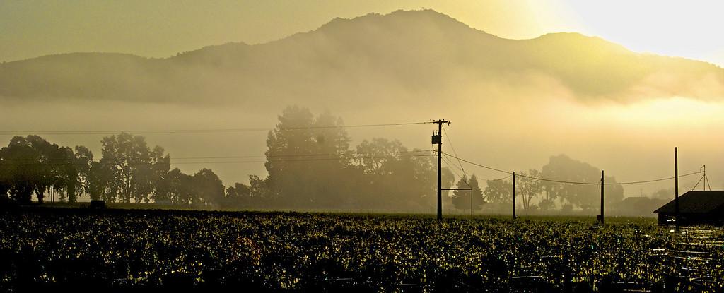 Foggy Yountville Dawn with Atlas Peak