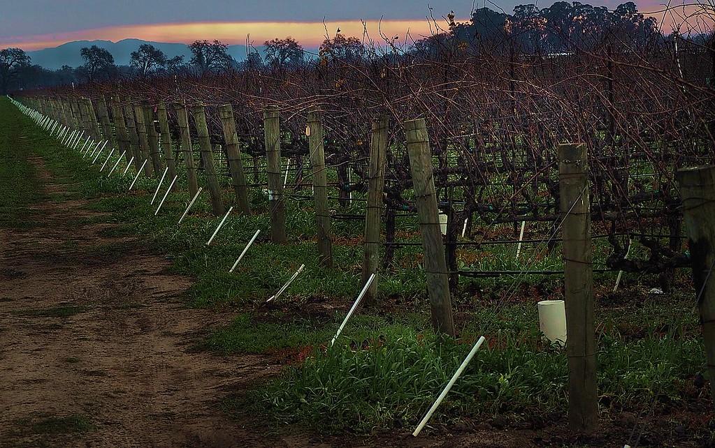 January dawn yountville  unpruned vines 1/4