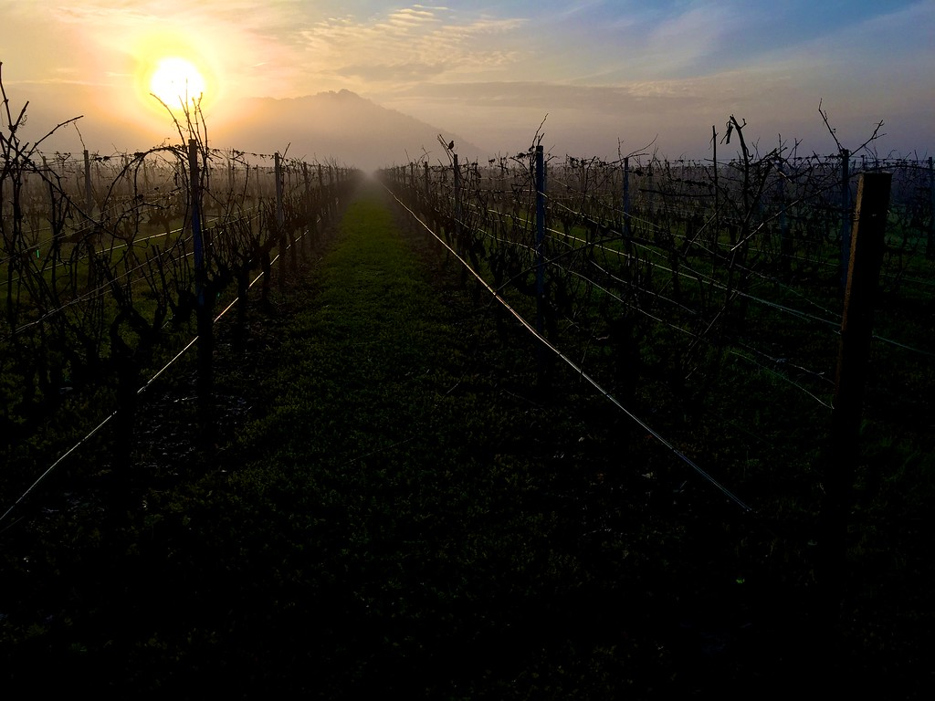 jan morning walk in the vineyards