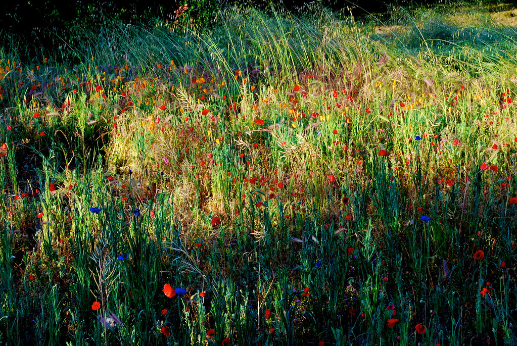 Wildflowers Yountville Spring 09