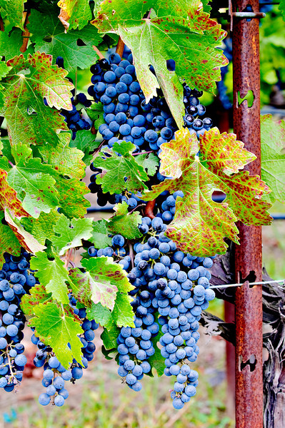 Fall Harvest Grapes along the Fence.   Napa and Sonoma Valley Grapes._1600