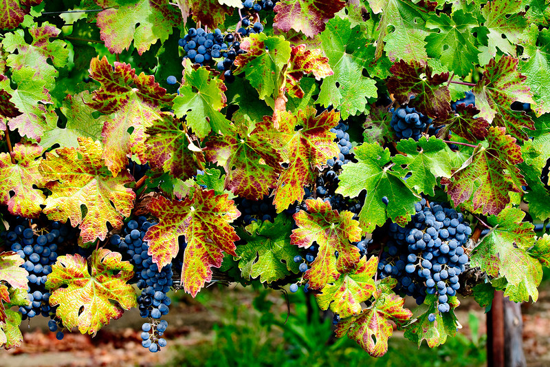 Lots of Fall grapes leaves 1669.  Napa and Sonoma Valley Grapes