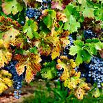 Lots of Fall grapes leaves 1669.  Napa and Sonoma Valley Grapes