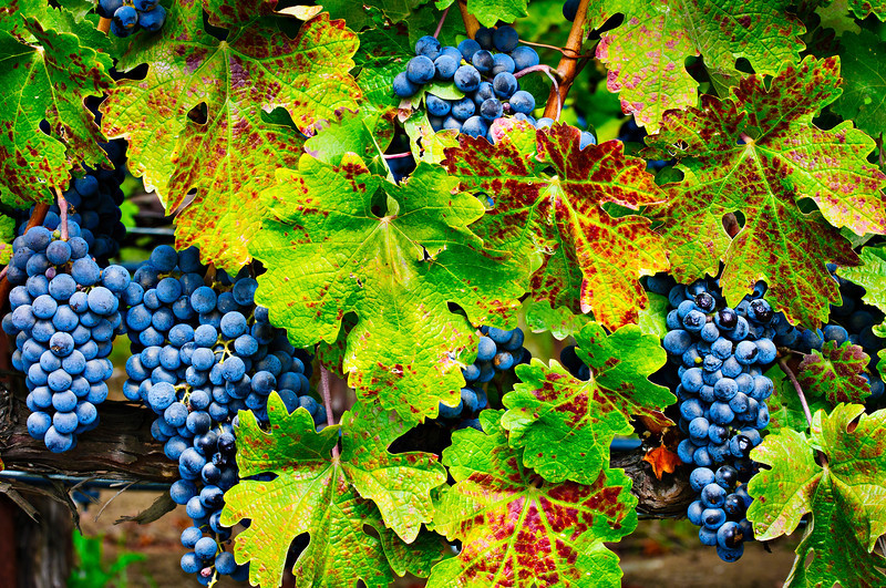 "11/30 - ""Napa and Sonoma Valley Grapes before the Fall Harvest""  These is nothing better than plump grapes ready for the picking!  Add some fall colors to the leaves and you have a perfect setting on the vine"