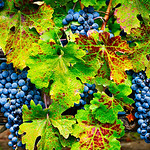 """11/30 - """"Napa and Sonoma Valley Grapes before the Fall Harvest""""  These is nothing better than plump grapes ready for the picking!  Add some fall colors to the leaves and you have a perfect setting on the vine"""