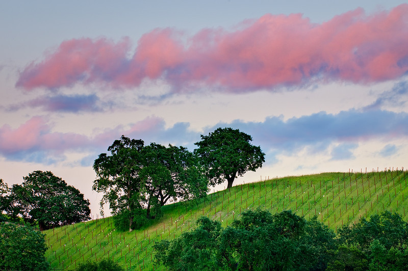 """""""Sonoma County Vineyards and Trees at Sunset""""  The rolling hills and these nascent grape vine rows coming along on a summer evening.  Just the last hint of sunset as these clouds were glowing pink!  Can't wait to taste the wine from this vineyard!"""