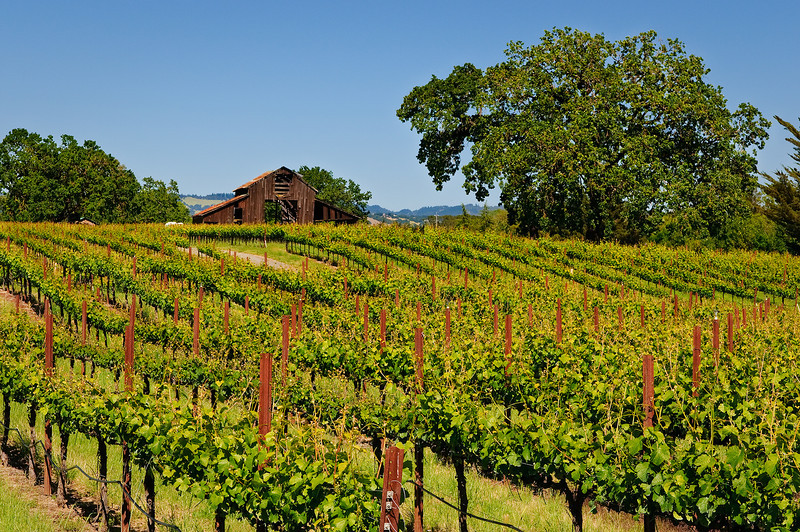 Sonoma Valley Wine Country and Barn in Summer.  Lush green grape vines starting to grow only the rows.  Just another tranquil setting.