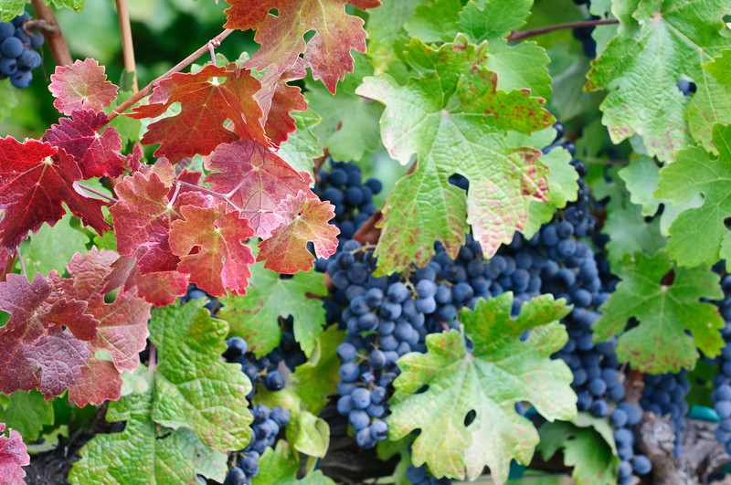 Fall Vineyard Leaves with Grapes behind_DSC1614.  Napa and Sonoma Valley Grapes
