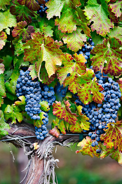 Fall Harvest Grape Vine 1671.  Napa and Sonoma Valley Grapes