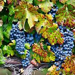 Fall Harvest Grape Vine 1671.  Napa and Sonoma Valley Grapes