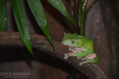 Giant Waxy Tree Frog