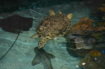 Giant Sea Turtle -- she lost one of her feet but moves beautifully through the water.