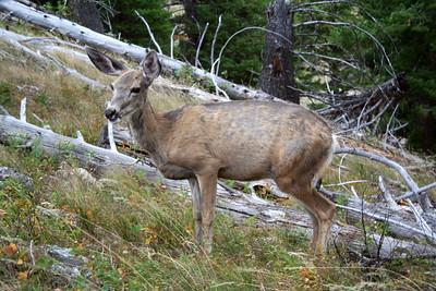 Mule deer, Grand Teton NP