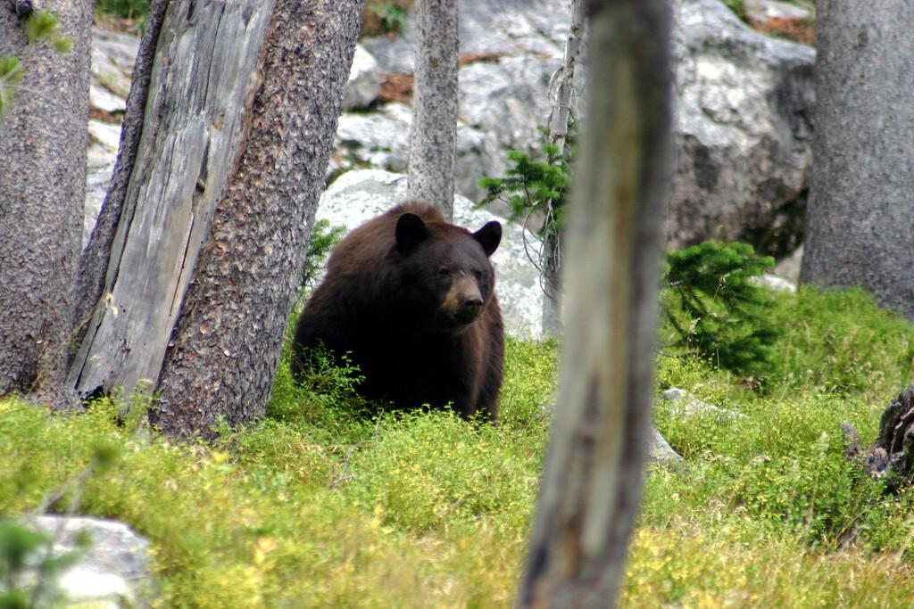 Black bear near Surprise Lake, Grand Teton NP