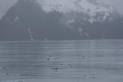 Seagulls standing on ice, Aialik Bay, Kenai Fjords NP