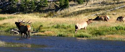 Elk Bugle, Madison River, Yellowstone NP