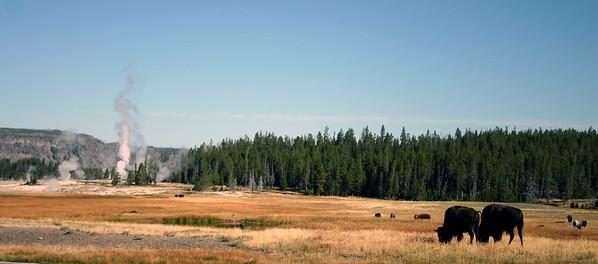 Buffalo, Upper Geyser Basin, Yellowstone National Park