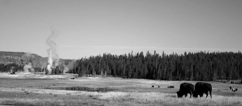 Buffalo herd, Upper Geyser Basin, Yellowstone NP