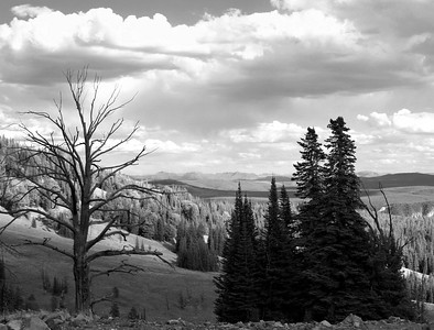 Dead tree near Dunraven Pass, Yellowstone NP