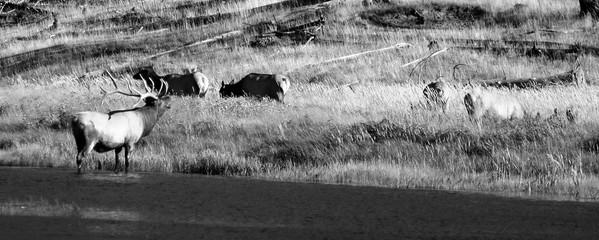 Male Elk bugling, Madison River, Yellowstone NP.