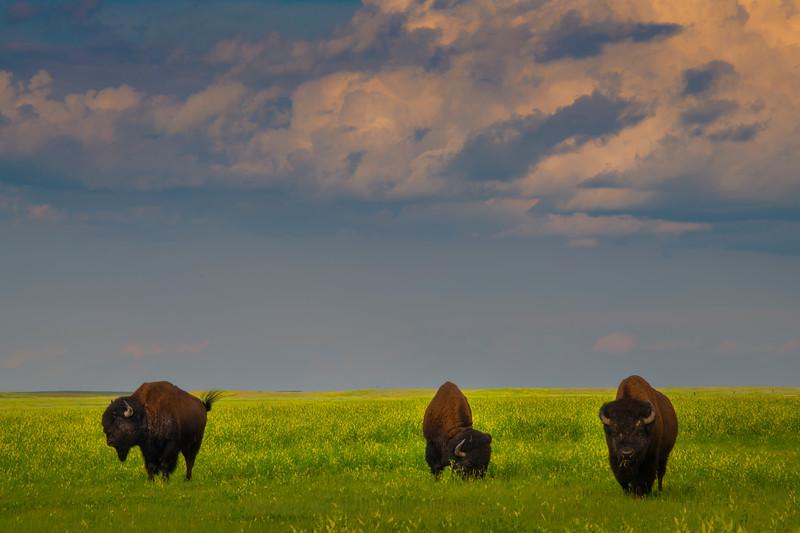 Bison Making Their Way Through The Badlands - Badlands National Park, South Dakota