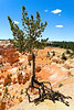 Tree clings for life at the canyon edge Bryce canyon National Park