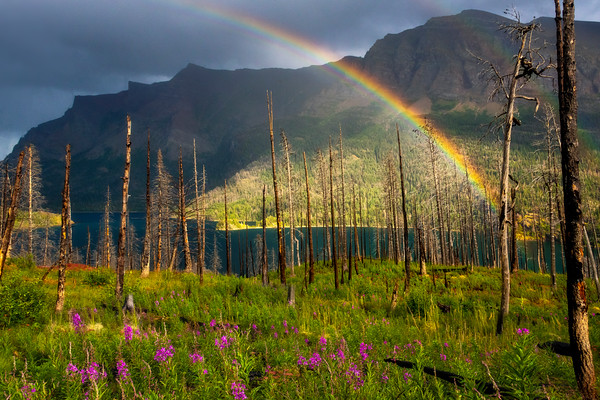 Fireweed In Burned Forest After Rainstorm - Saint Mary's Lake, Glacier National Park, Montana