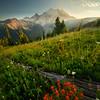 Arrangement Of Indian Paintbrush Leading To Rainier - Mount Rainier National Park, WA