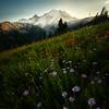 Aster Heaven Below Rainier - Mount Rainier National Park, WA