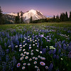 A Purple Aster Cool Morning From Sunrise - Mount Rainier National Park, WA