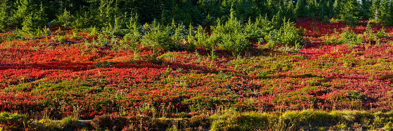 Huckleberry bushes in bright red in the fall