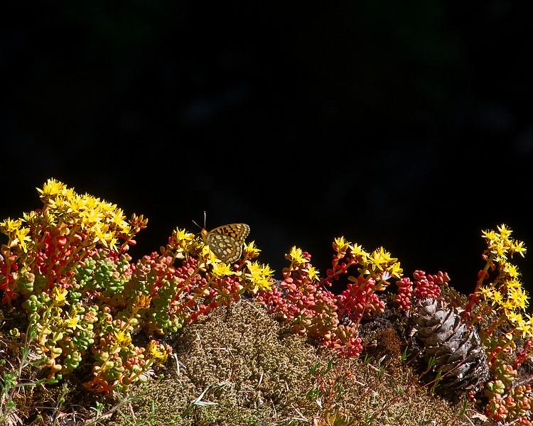 A butterfly rests on wildflowers in Mount Rainier National Park, WA