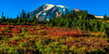 Fall color in Paradise meadow - Mt. Rainier