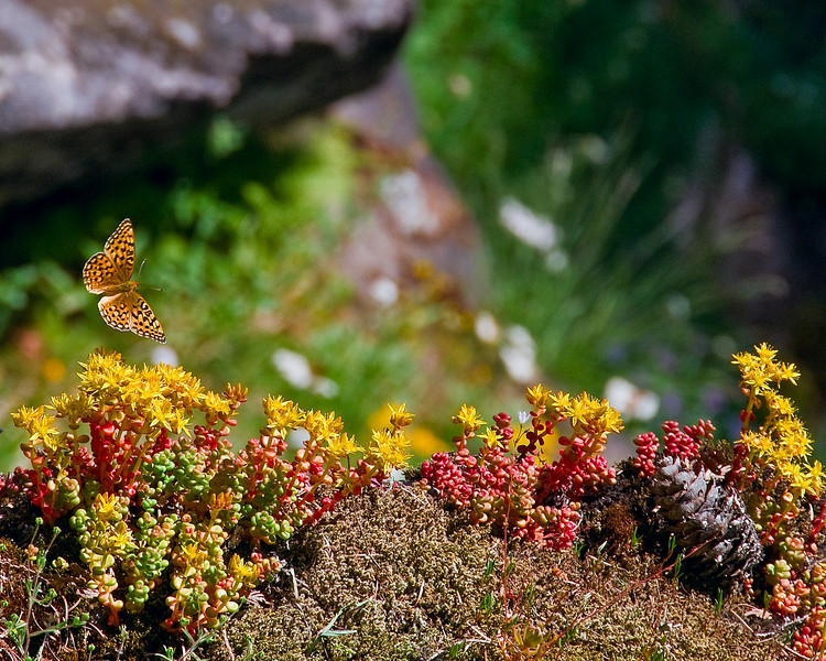 A butterfly flying by wildflowers in Mount Rainier National Park, WA