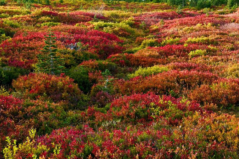 Paradise Meadow, Mount Rainier NP Washington
